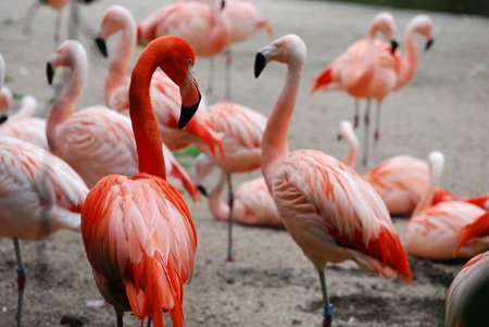 pink flamingos (Phoenicopterus ruber ruber) Stock Photo - 15648713