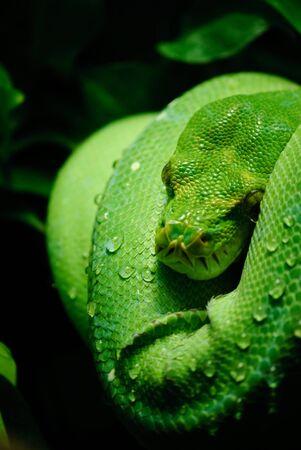 pythons: green tree python