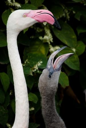 pink flamingos (Phoenicopterus ruber ruber) Stock Photo - 15649029