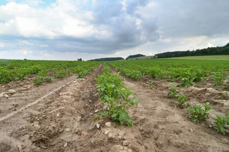 potatoes field photo