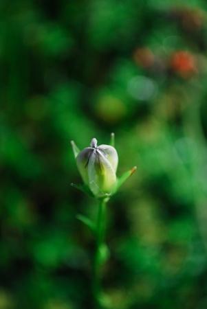 bellflower: bellflower Stock Photo