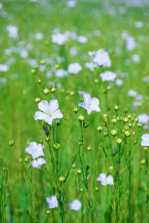 textil: flax field