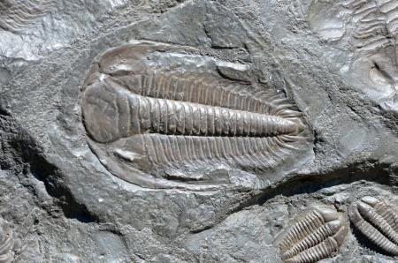 化石三葉虫