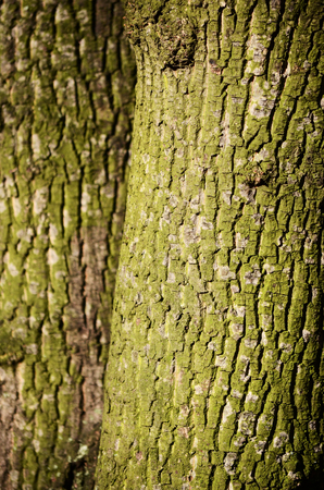 wrinkled rind: maple tree skin Stock Photo