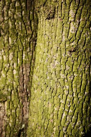 wrinkled rind: maple tree skin Stock Photo