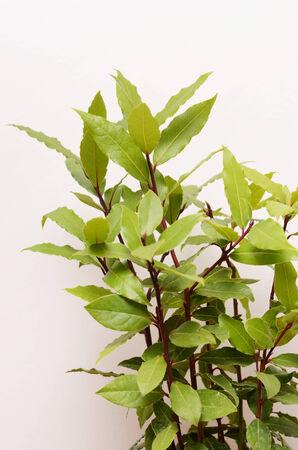 bay leaf: bay leaf