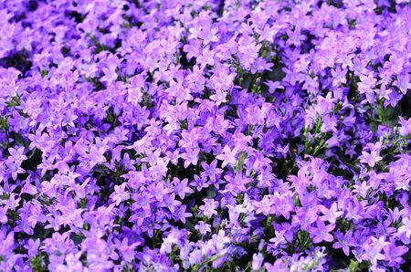 campanula: campanula flower