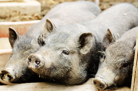 young pigs photo