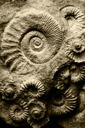 devonian: fossil ammonites