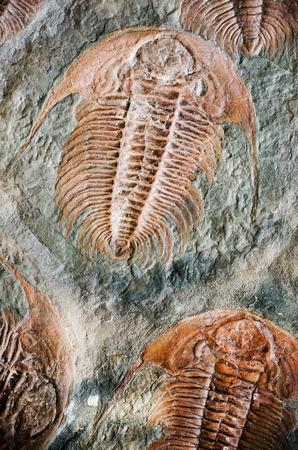 paleontology: fossil trilobit Stock Photo