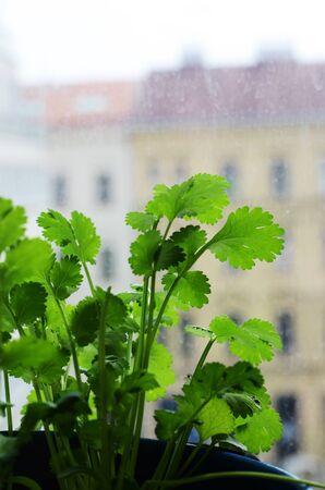 cilantro: cilantro