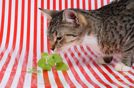 nepeta cataria: gattino e catnip