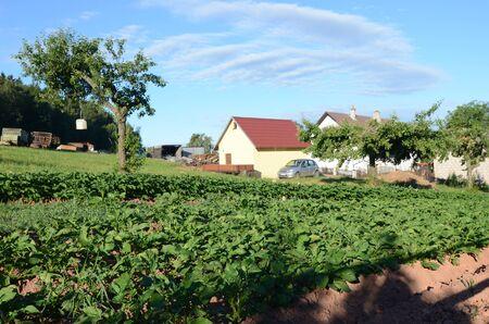potato tree: potato field Stock Photo