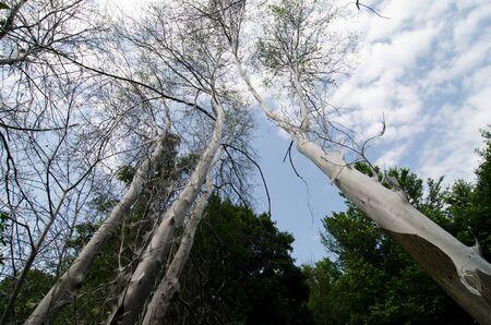 gronostaj: Bird-wiśniowe gronostaje, Yponomeuta evonymella Zdjęcie Seryjne