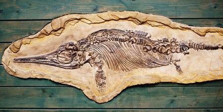 prehistoric fish: ichtyosaurus fossil