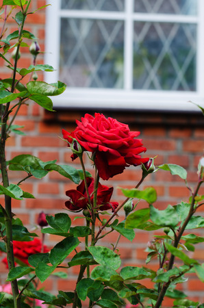 vibrant cottage: red roses