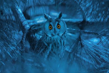 portrait of owl with piercing orange eyes on gloomy blue background Banco de Imagens