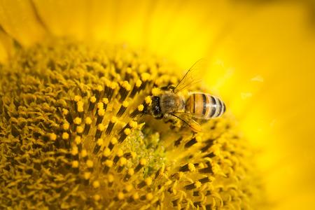 sunflower seeds: Macro view of honeybee pollinating sunflower seeds