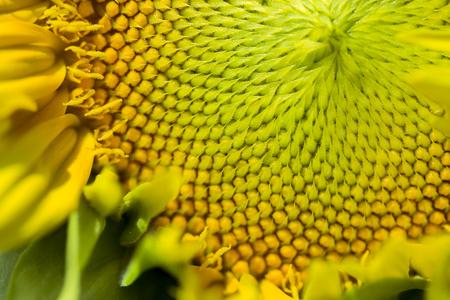 Macro view of sunflower seeds