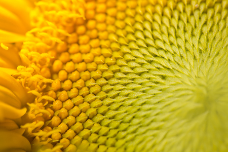 sunflower seeds: Macro view of sunflower seeds