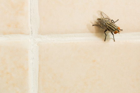 pest control: Closeup of housefly on yellow tile floor with copy space Stock Photo