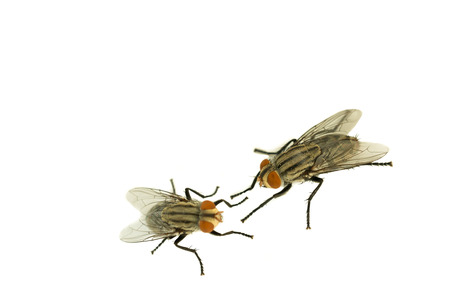 housefly: Two housefly on white isolated background with copy space, selective focus