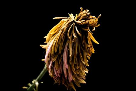 Roxanne Dry Chrysanthemum Gold