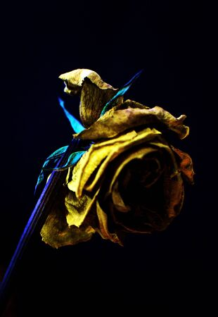Yellow flower on black background, very beautiful highlighting colors and shape.