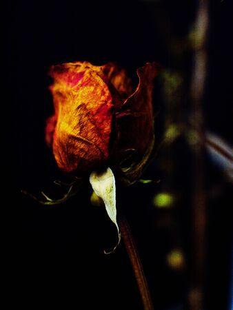 La fotografía se realiza en estudio, muy hermosa rosa seca.