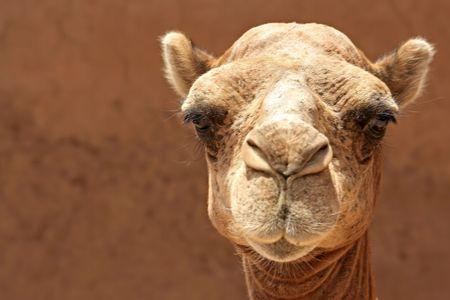 camello: jefe de camellos Foto de archivo