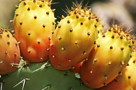 close-up of prickly pear cactus with ripe fruits photo