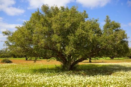 Árbol de Argan con frutos secos en las ramas. Concepto para el saludable aceite de argan tuercas, de salud, culinario utilizar, masaje de aceite y cosméticos.
