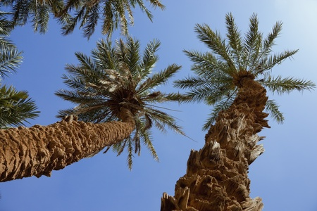 dactylifera: Group of date palms  Phoenix dactylifera  against blue sky in the Sahara desert of Morocco