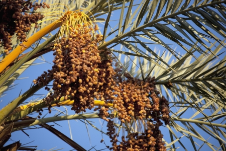 dactylifera: Palm branches with ripe dates, from a date palm  Phoenix dactylifera , Sahara desert, Morocco