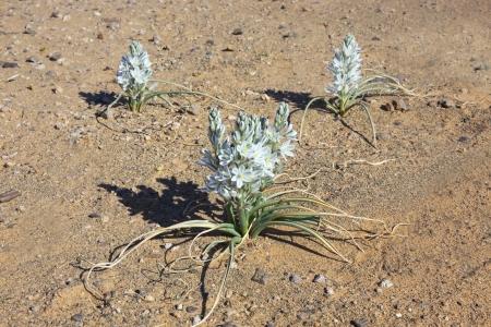 aridness: Plant with white petals on stony desert ground, Merzouga, Morocco