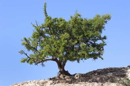 argan: Argan tree (Argania spinosa) against clear blue sky. The tree is endemic to the Sous valley in Morocco. It is cultivated for the oil (argan oil) that is found in the fruit. The oil is rich in fatty acids and is used in cooking and for beauty products.