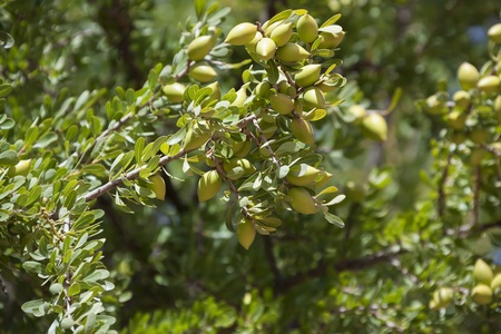argan: Argan nuts on Argan tree (Argania spinosa). This tree is endemic to the Sous valley in Morocco. It is cultivated for the oil (argan oil) that is found in the fruit. The oil is rich in fatty acids and is used in cooking and cosmetics.  Stock Photo