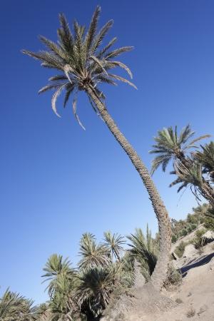 dactylifera: Oasis of date palms (Phoenix dactylifera). Stock Photo