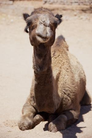 Dromedary (camel) laying on desert ground in the Sahara desert.  photo