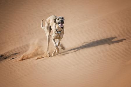 Sloughi (グレイハウンド) は、モロッコの砂漠で実行されます。