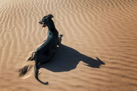 A black Sloughi dog (Arabian greyhound) rests in the sand dunes in the Sahara desert of Morocco. Stock Photo