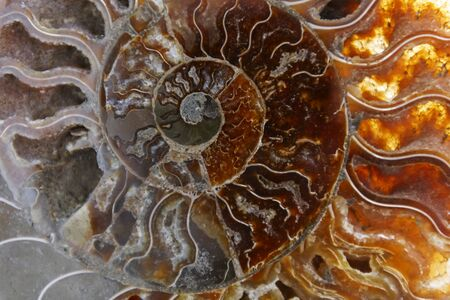 Detail of a fossilized ammonite from the Sahara desert in Morocco.