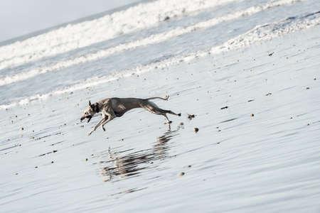 A Sloughi dog (Arabian greyhound) runs at the beach at the Atlantic ocean in Essaouira, Morocco.