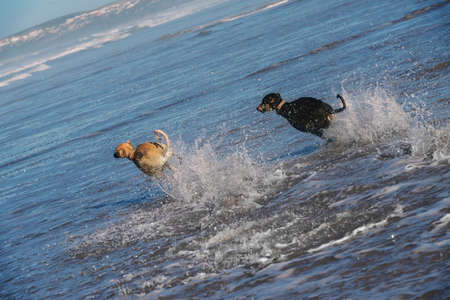 Two Sloughi dogs (Arabian greyhound) run in the water, Atlantic ocean, in Essaouira, Morocco.