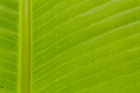 banana leaf Stock Photo - 9143290