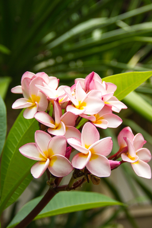 noon: Pink plumeria flower time near noon. Background of natural conditions. Stock Photo