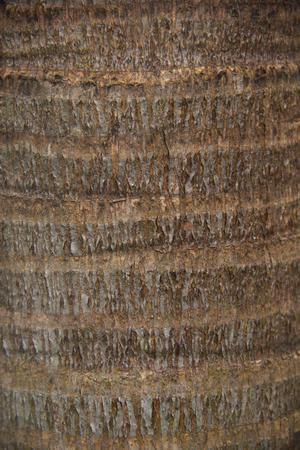 Areca nut bark texture background. Stock Photo