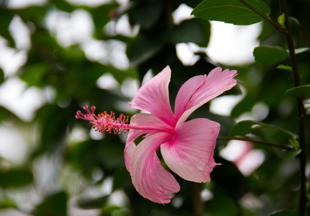 Pink Hibiscus blooming in Natural Environment.