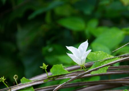 Ivy Gourd vine with white flowers. Growing on dry coconut leaves