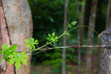 wire fence: Ivy Gourd are growing along the barbed wire fence. Stock Photo